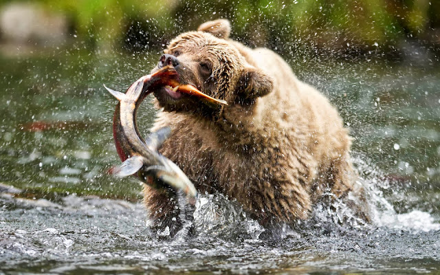 photo-bear-catching-big-salmon-fish-in-shallow-river-hd-bears-wallpapers.jpg